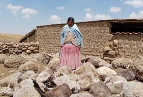 PERROS SALVAJES ATACAN AL GANADO EN EL ALTIPLANO: Provocan la muerte de 25 ovejas, llamas y alpacas